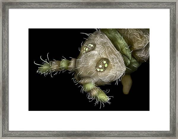 Springtail Head Framed Print by Alex Hyde