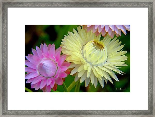 Strawflower Blossoms Framed Print
