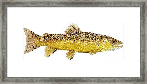 Study Of A Brown Trout Framed Print