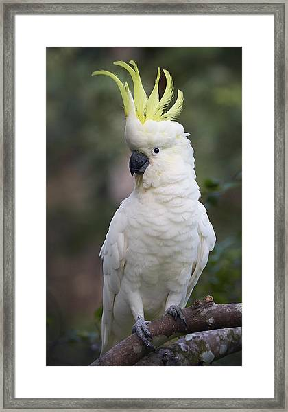 Sulphur-crested Cockatoo Displaying Framed Print