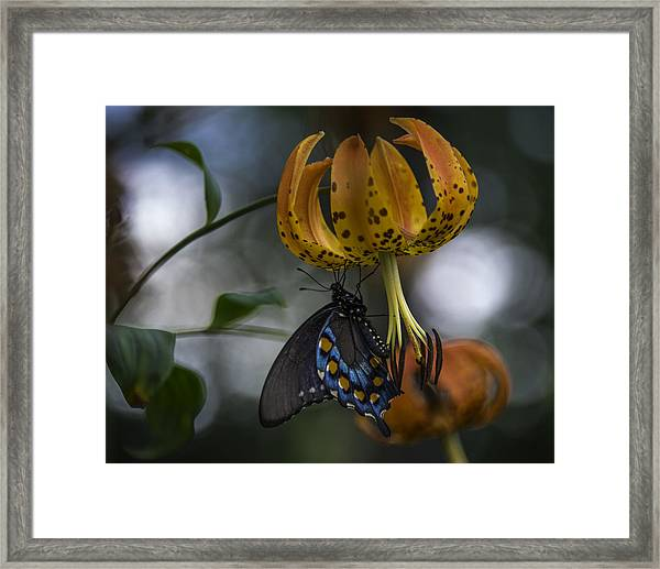 Swallowtail On Turks Cap Framed Print