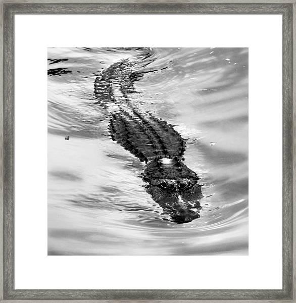 Swimming Gator Framed Print