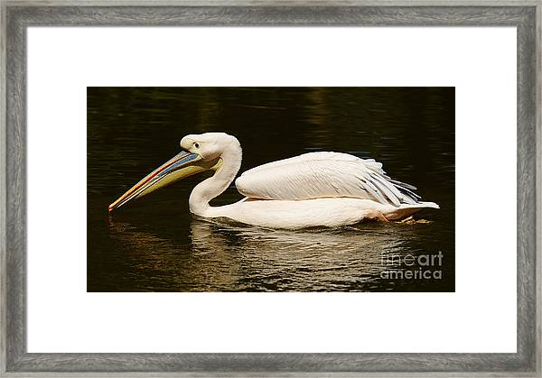 Swimming Pink Pelican Framed Print