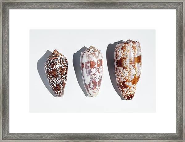 Three Conus Cone Shells That Can Kill Man Framed Print by Paul D Stewart
