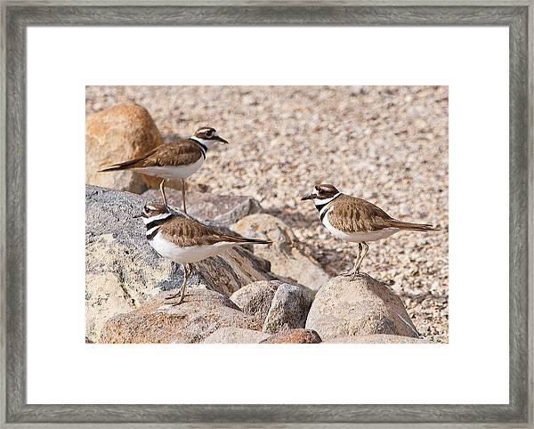 Three Killdeer On Rocks Framed Print