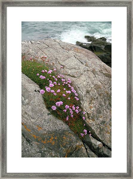 Thrift (armeria Maritima Miller) Framed Print by Chris Dawe/science Photo Library