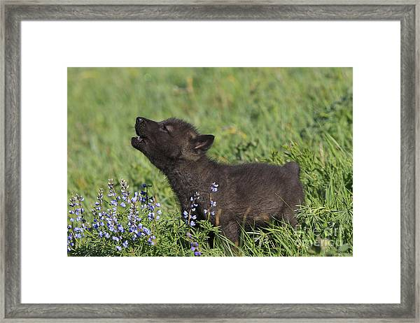 Timber Wolf Cub, Canis Lupus Framed Print
