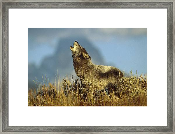 Timber Wolf Howling Idaho Framed Print