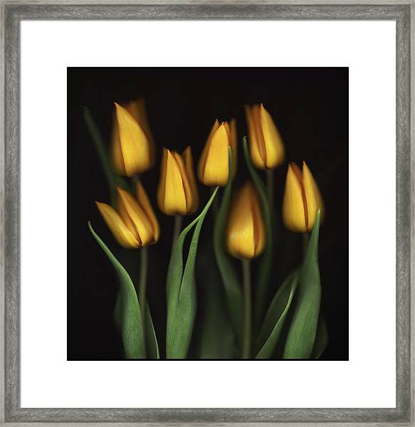 Tulips Framed Print by Brian Haslam