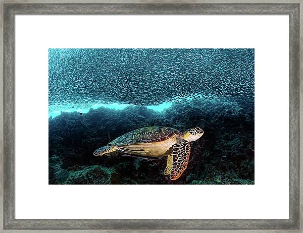 Turtle And Sardines Framed Print by Henry Jager