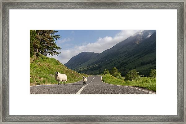 Two Sheeps Walking Along A Road In The Scottish Highlands Framed Print by Leander Nardin