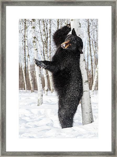 Usa, Minnesota, Sandstone, Black Bear Framed Print by Hollice Looney