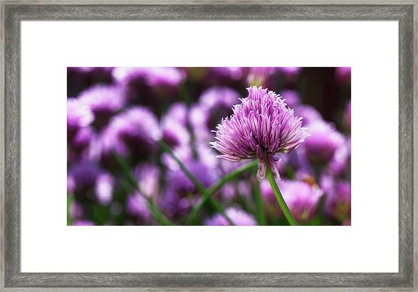 Usa, Oregon, Keizer, Chives In Bloom Framed Print