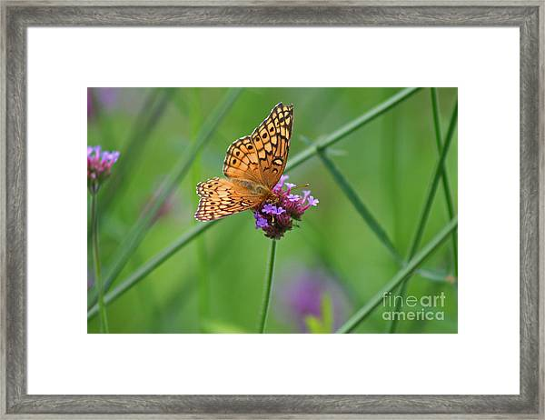 Variegated Fritillary Butterfly In Field Framed Print