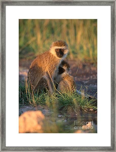 Vervet Monkey Framed Print