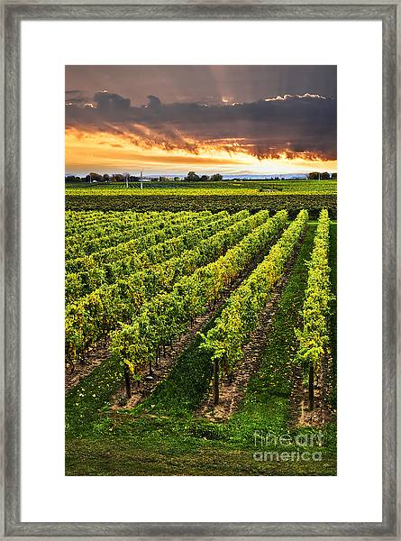 Vineyard At Sunset Framed Print