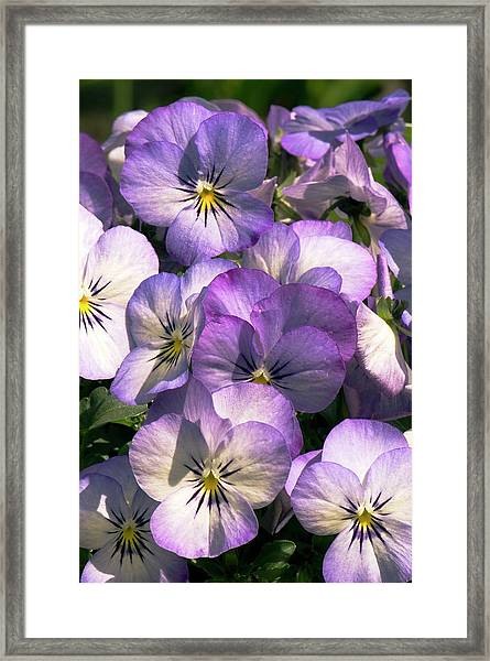 Viola Cornuta Penny Purple Picotee Framed Print by Adrian Thomas