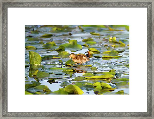 Wa, Juanita Bay Wetland, Mallard Duck Framed Print by Jamie and Judy Wild