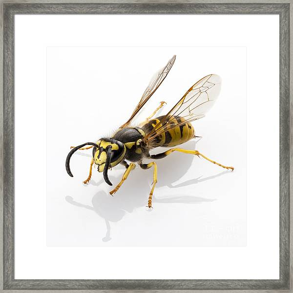 Wasp Isolated  Framed Print