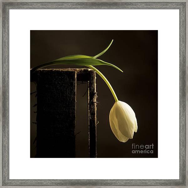 White Tulip Framed Print