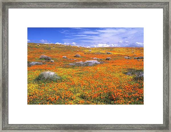 Wildflowers At The California Poppy Framed Print