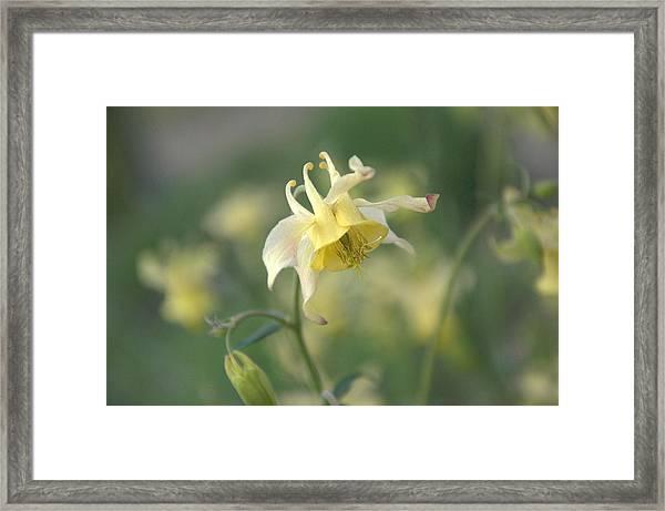 Yellow Columbine Framed Print