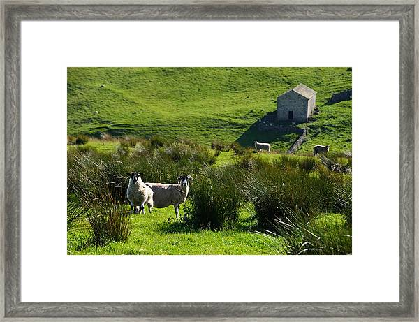 Yorkshire Sheep Framed Print