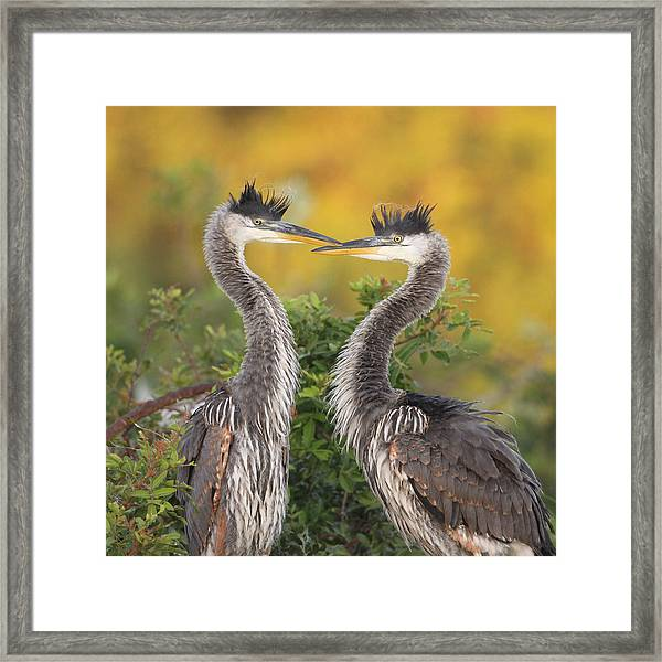 Young Herons Framed Print by Brian Magnier