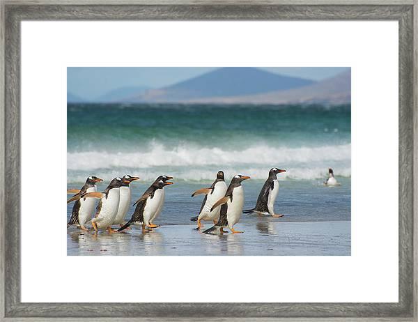 Falkland Islands Framed Print by Inger Hogstrom