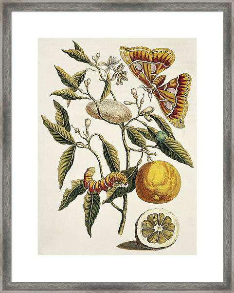 Insects Of Surinam Framed Print by Natural History Museum, London/science Photo Library