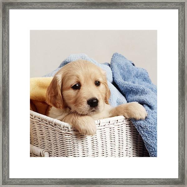 Golden Retriever Puppy Framed Print
