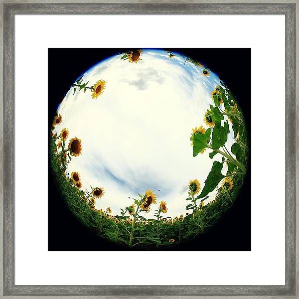 Sunflowers Framed Print by Falko Follert