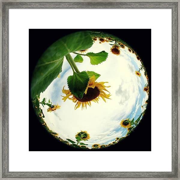 Sunflowers Framed Print by Falko Follert