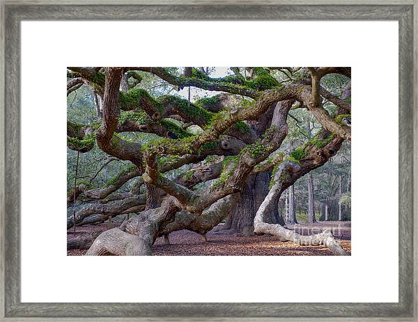 Angel Oak Tree Unique View Framed Print