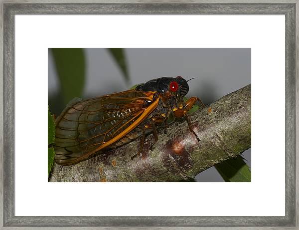 17 Year Locust Framed Print