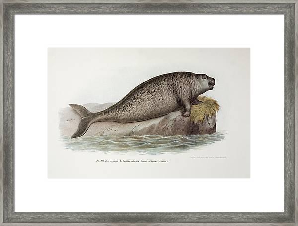 1741 Steller's Extinct Sea Co Framed Print