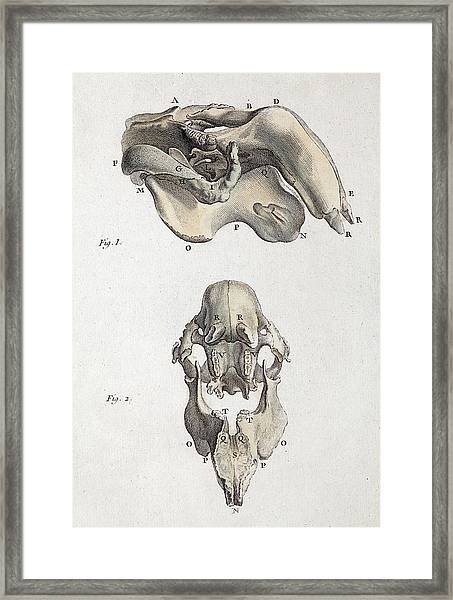 1790 Antique Accurate Dugong Skull Framed Print by Paul D Stewart