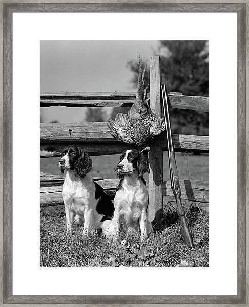 1940s Pair Of English Springer Spaniels Framed Print