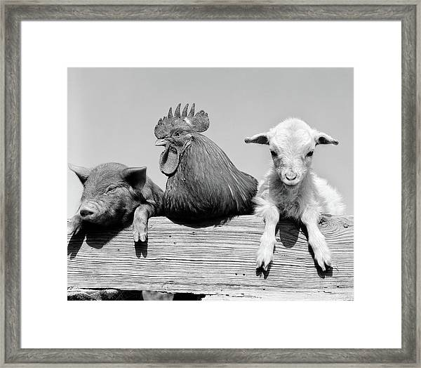 1960s Piglet Rooster Lamb Trio Leaning Framed Print