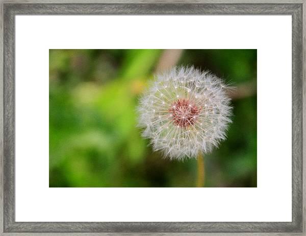 A Dandy Dandelion Framed Print