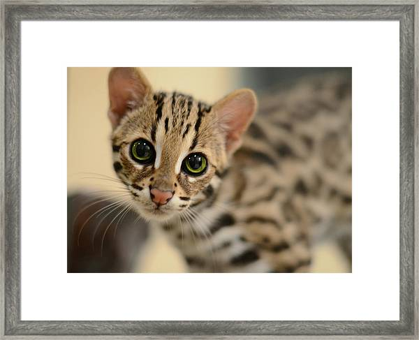 Asian Leopard Cub Framed Print
