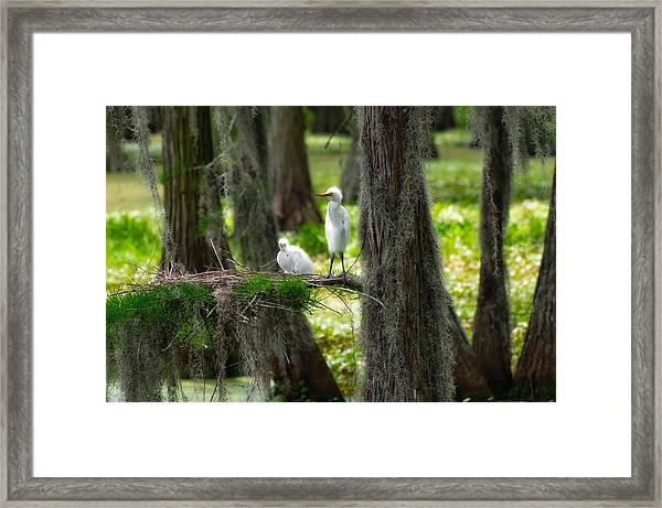 Baby Great Egrets With Nest Framed Print