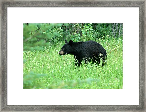 555p Black Bear Framed Print