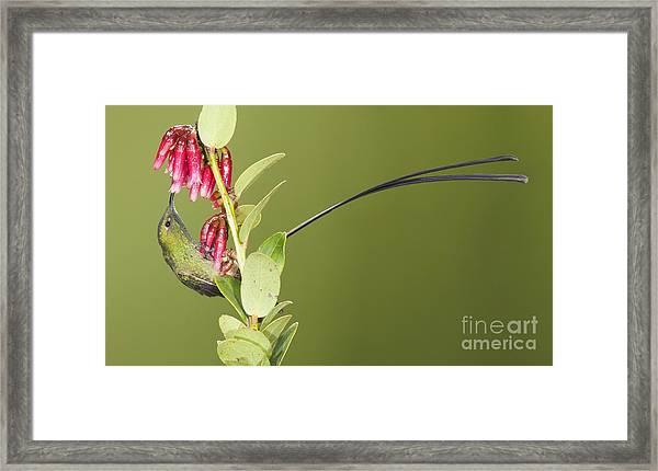 Black-tailed Train Bearer Hummingbird Framed Print
