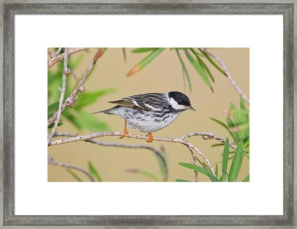 Blackpol Warbler (dendroica Striata Framed Print