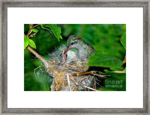 Broad-billed Hummingbird And Young Framed Print