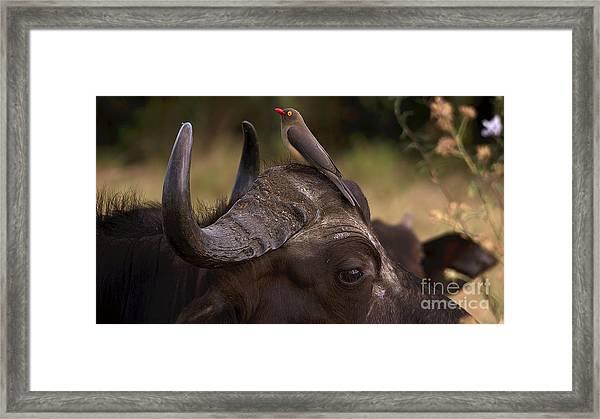 Buffalo And Oxpecker Framed Print