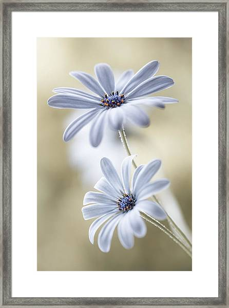 Cape Daisies Framed Print