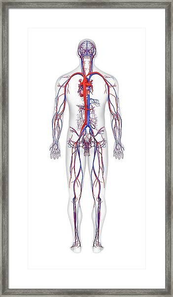 Cardiovascular System Framed Print