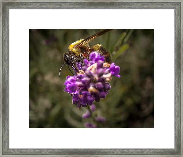 Carpenter Bee On A Lavender Spike Framed Print